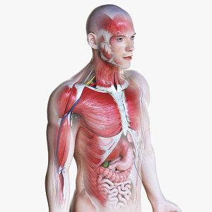 3D male anatomy simplified