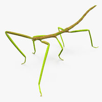 3D phasmatodea stick insect walking