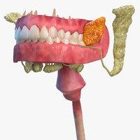 human digestive anatomy 3D model