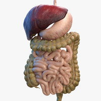 3D human digestive model