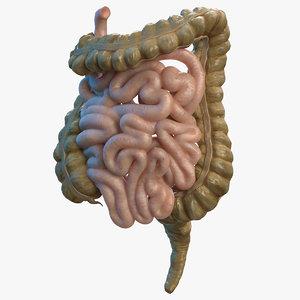 3D human small inestines colon model