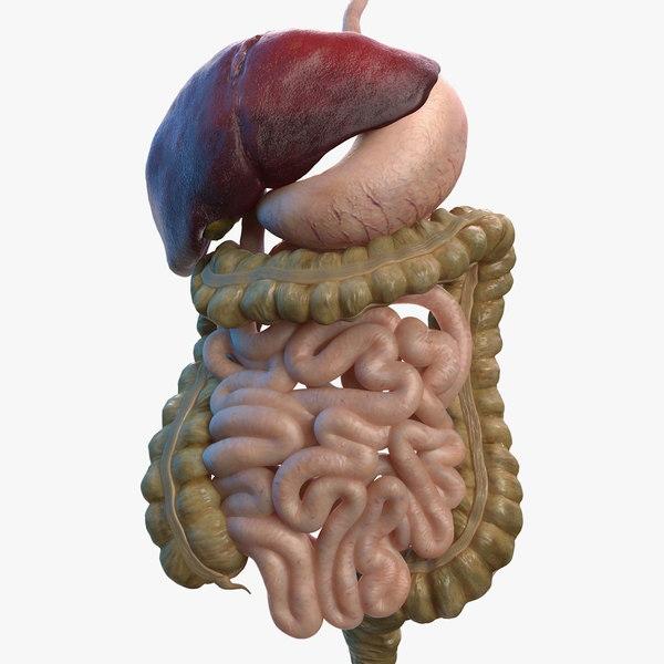 3D human stomach small intestine