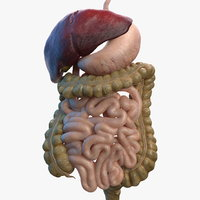 Human Stomach and Small Intestines