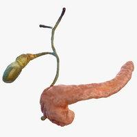 human pancreas gallbladder gall 3D model