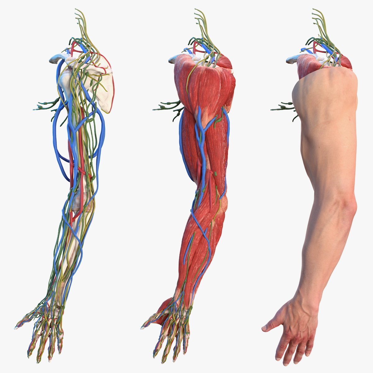 male arm anatomy skin human model