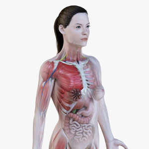 female anatomy simplified model