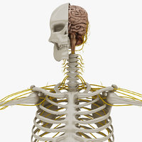 nervous anatomy nerves 3D model