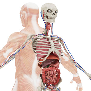 3D model body anatomy