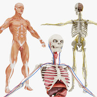 body nervous 01 circulatory 3D model