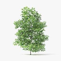 norway maple tree 3 3D model