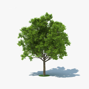 3D red oak tree model