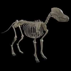 3D model dog skeleton