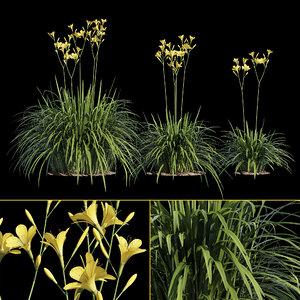 yellow hemerocallis model