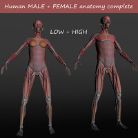 male female anatomy human 3D model