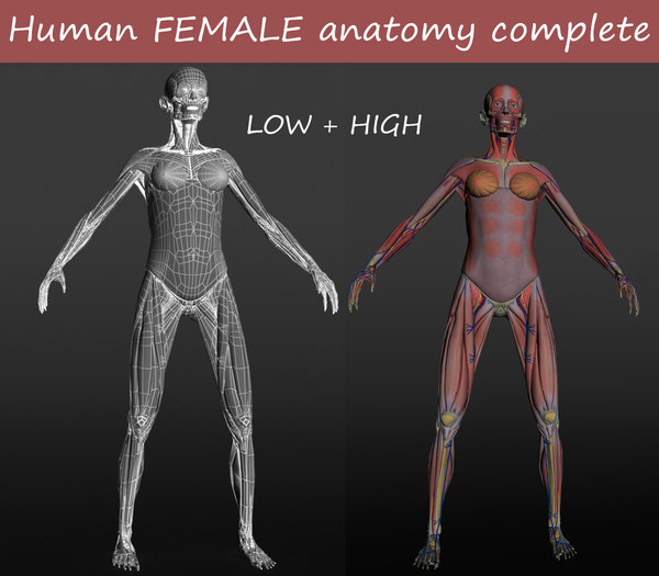 female anatomy human 3D