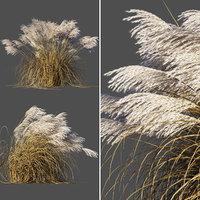 Miscanthus sinensis dry