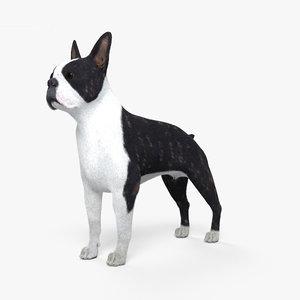 boston terrier model