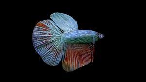 2020 betta fish 3D model