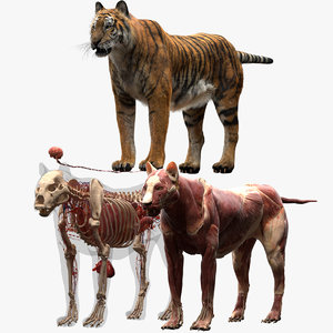 tiger anatomy 3D model