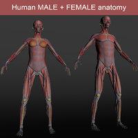 male female anatomy human 3D model