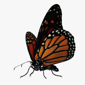 monarch butterfly rigged animation 3D