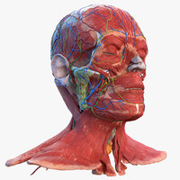 3D human head anatomy