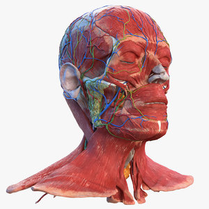 3D human head anatomy