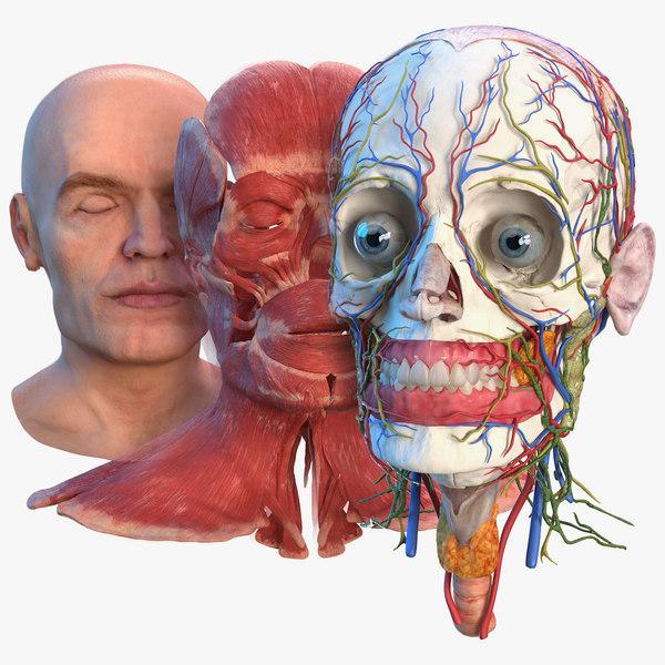 3D human head anatomy skin model