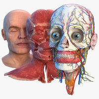 Human Head Full Anatomy and Skin