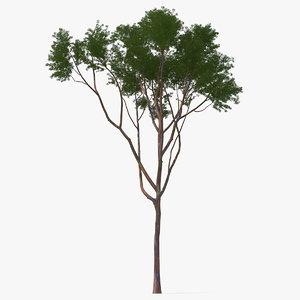 3D rainbow eucalyptus tree model