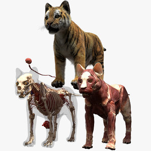 3D tiger anatomy