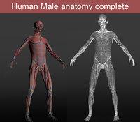 3D male anatomy human model