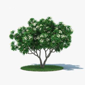 frangipani tree 3D
