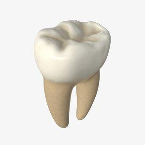 3D tooth molar model