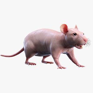 rat hairless 3D
