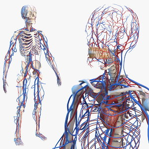 3D male skeleton cardiovascular model