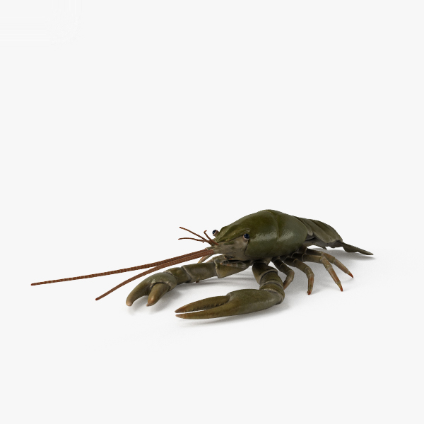 3D model crayfish