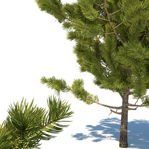 3D young pines tree model