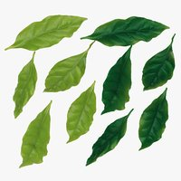 Leaf, Coffee Leaves. Fresh and Ripe Leaves.