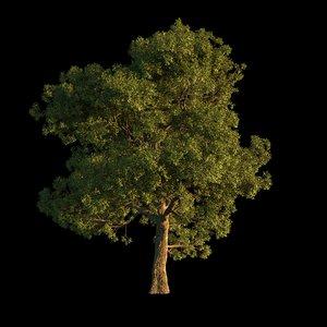 3D model oak 1