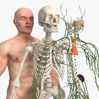 3D male skeleton lymphatic skin
