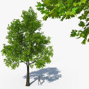 3D model acer platanoides norway maple tree