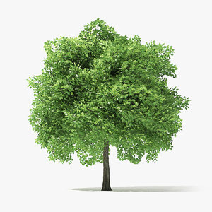 3D norway maple tree 6 model