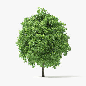 3D model tree norway maple