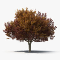 3D white ash tree autumn model