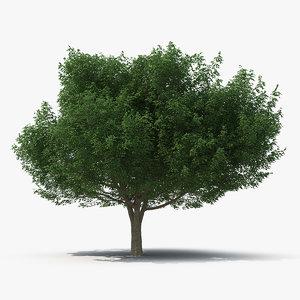 3D white ash tree