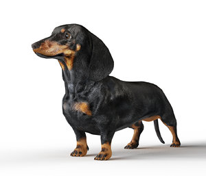 eyes dachshund dogs 3D model