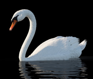 3D model white swan