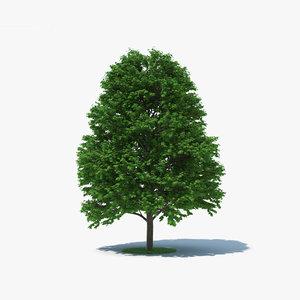 sugar maple tree 3D