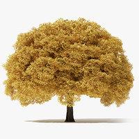 11 Meter Autumn Norway Maple Tree